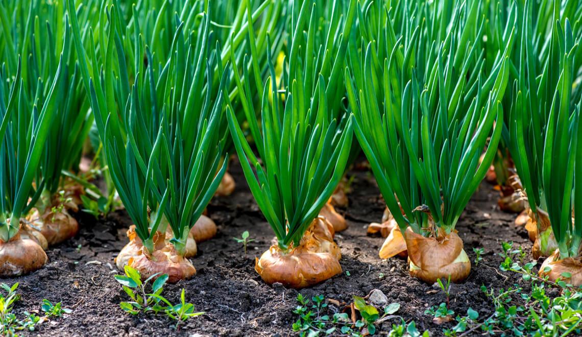 Plantação de cebola